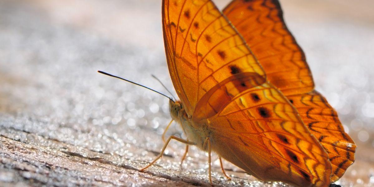 Schmetterlingshaut